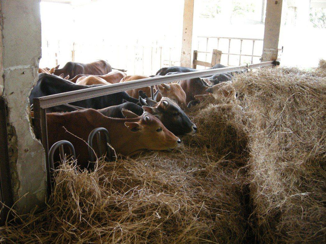 台灣牛隻圈養情形。 圖/作者提供