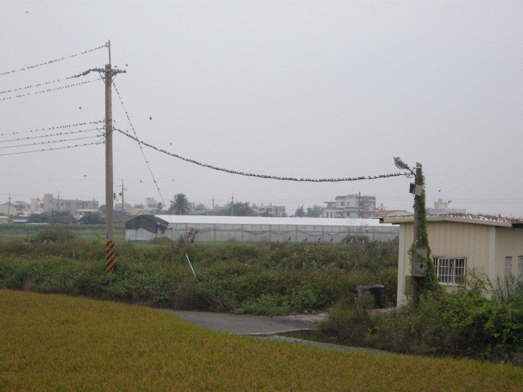 嘉義朴仔溪旁稻田邊站滿電線的麻雀。 圖/作者提供