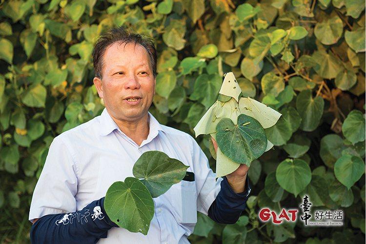黃槿不僅保護村民免受風沙,過去葉子被用來作如廁用的衛生紙,老人家用來墊底蒸草仔粿...