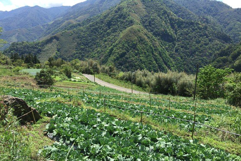 豐收農場使用的土地為日治時期開墾的水田,復耕種植有機蔬菜。 圖/作者提供