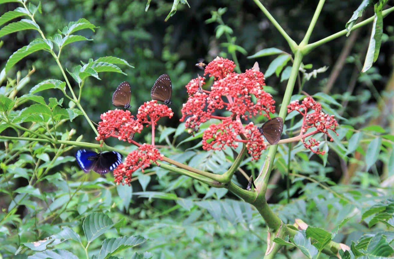 陳良庸認為保育、復育已見成效,山裡約出現200多種蝴蝶。 記者卜敏正/攝影