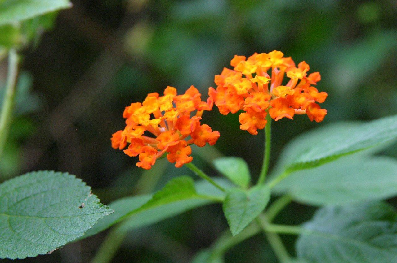 蝴蝶蜜源植物之一的馬纓丹。 本報資料照片