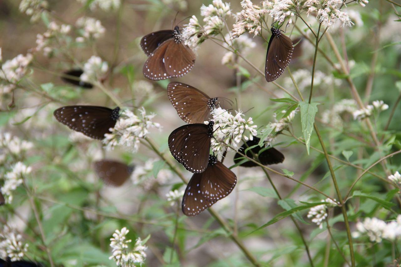 高士佛澤蘭栽植區,吸引成群紫斑蝶覓食。 圖/扇平園區提供