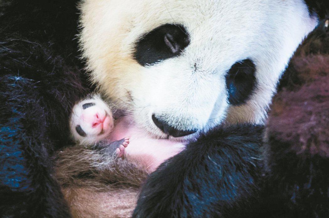 歐洲 法大貓熊歡歡喜獲麟兒 法國中部波瓦動物園的大貓熊「歡歡」抱著月初剛誕生的新...
