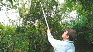 黃錦樹收穫「在欉熟」的波羅蜜。 黃錦樹 .圖片提供