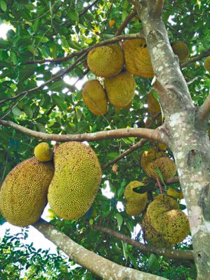 碩果纍纍的波羅蜜樹。 黃錦樹 .圖片提供