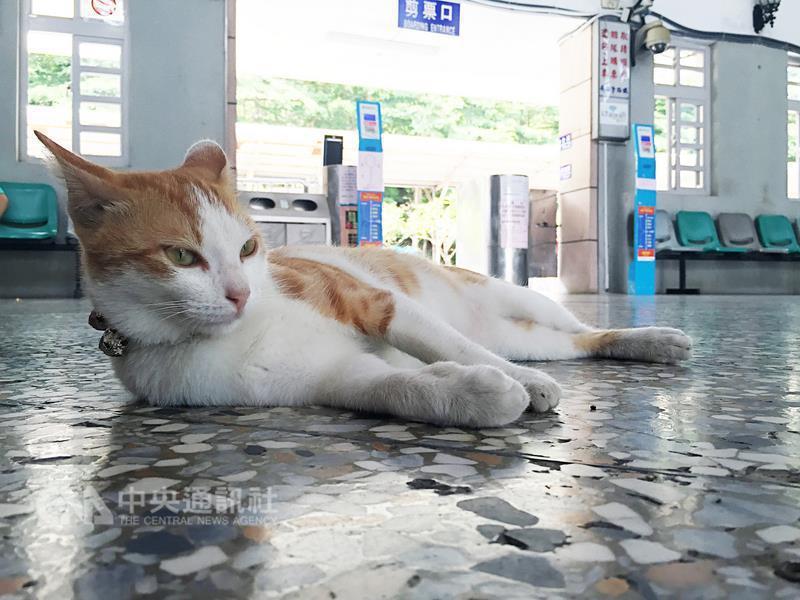 一隻黃白毛色貓咪(圖)以台鐵水里火車站為家,時而 慵懶躺臥大廳,時而與旅客互動,...