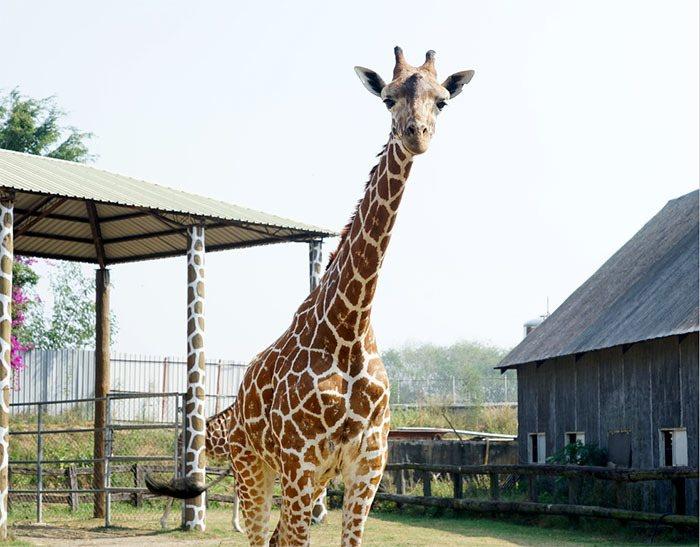 長頸鹿「宵順」搬來頑皮世界不到兩年,已長到近4公尺高。(20150116聯合報)...