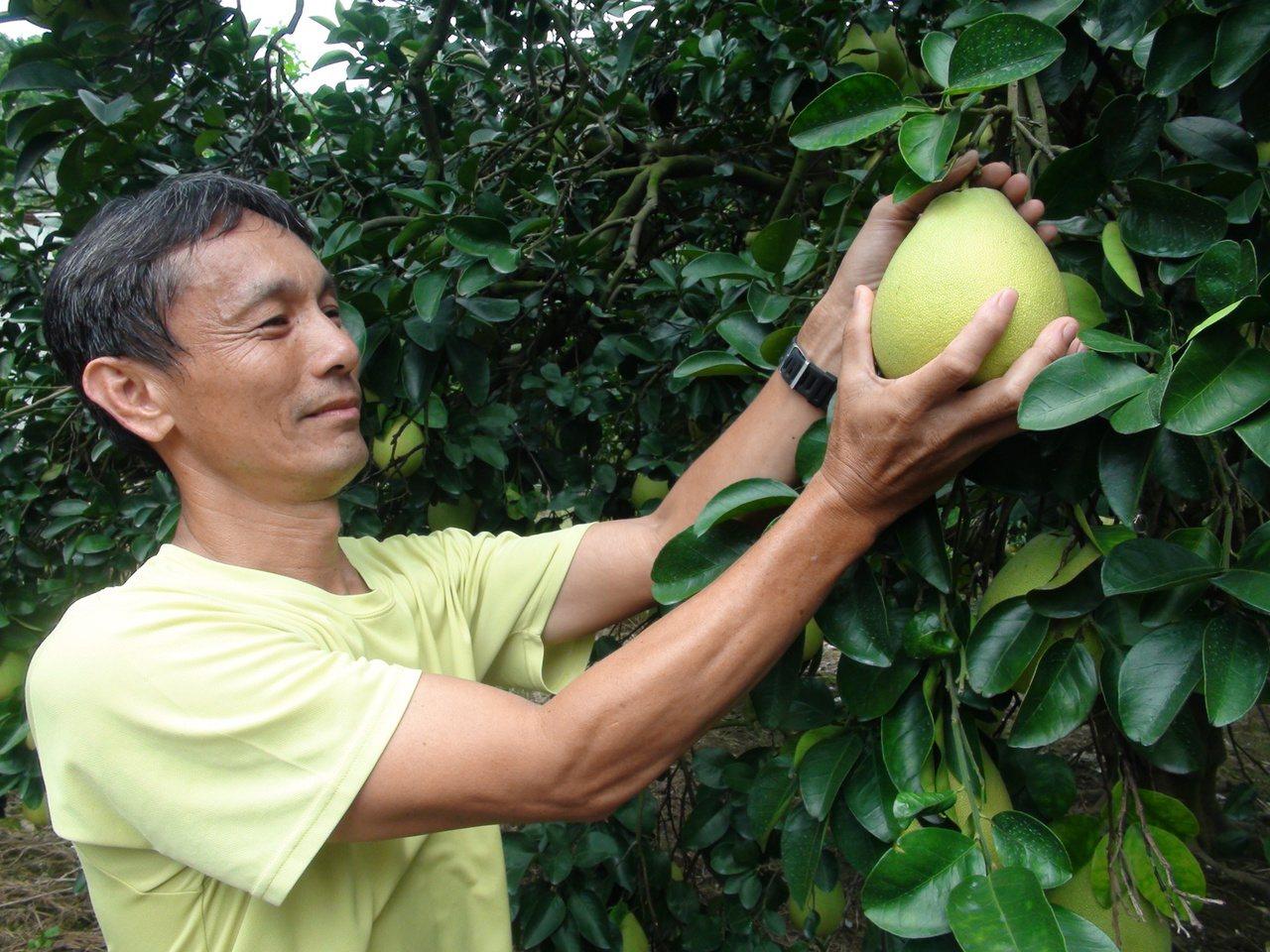 台中市潭子區農會建議,要挑選大小適中、果形端正、柚底寬大且沉重,這樣柚子的水分較...