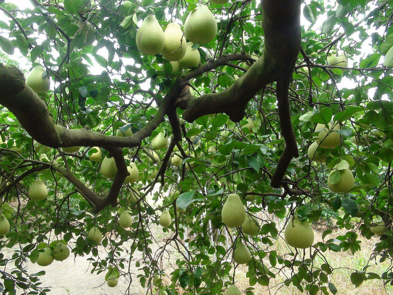 台中市潭子區種植約20公頃的文旦柚,由於潭子山區海拔約350公尺,日夜溫差大,生...