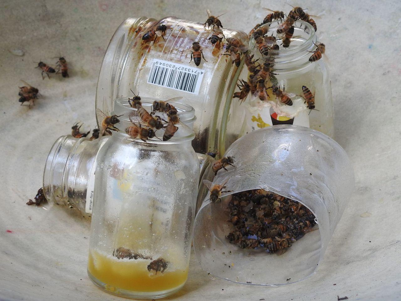 埔里蜜蜂近期遭受農藥傷害卻沒停損點,就算蜂農拿蜜餵食,仍有不少蜜蜂體虛死亡。記者...