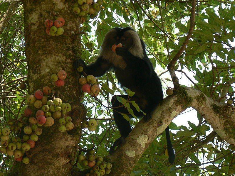 南印度的獅尾猴,正在取食聚果榕的果實。聚果榕,也就是佛經稱呼的優曇婆羅樹,是桑科...