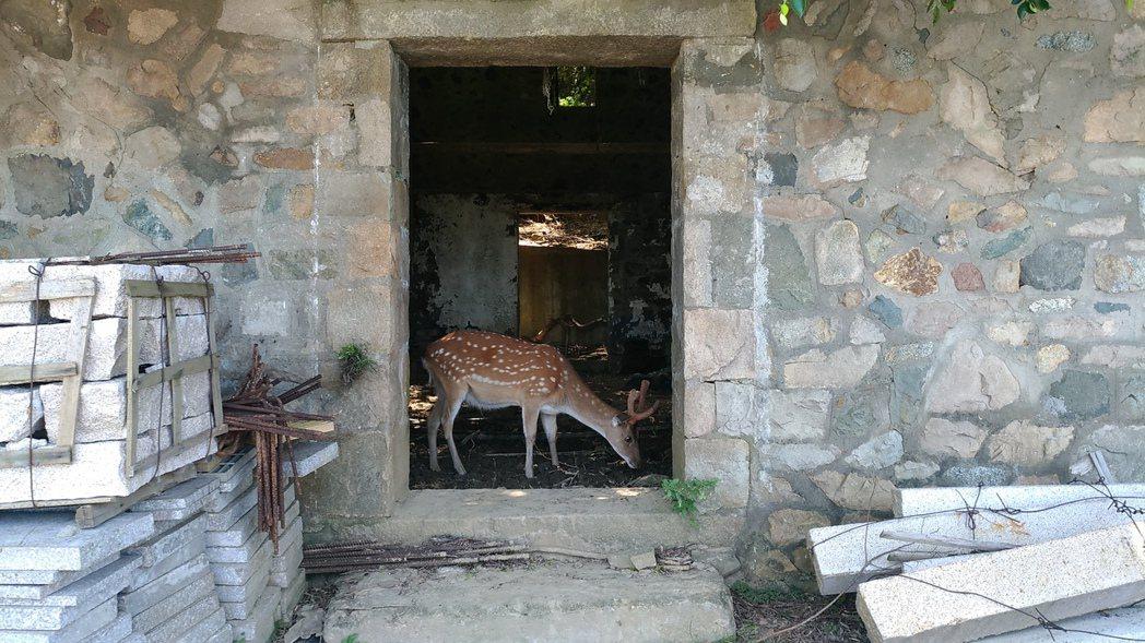 大坵以野放的梅花鹿著名,吸引遊客前來觀光。 記者楊德宜/攝影