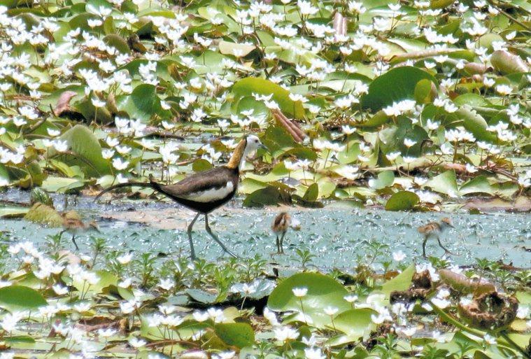 水雉公鳥帶著雛鳥,在菱角葉上覓食。 本報資料照片