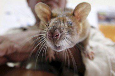 吳貓頭/「公開處決」不犯法?——好鼠壞鼠都是不該被虐待的老鼠