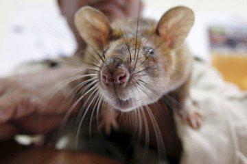 「公開處決」不犯法?——好鼠壞鼠都是不該被虐待的老鼠