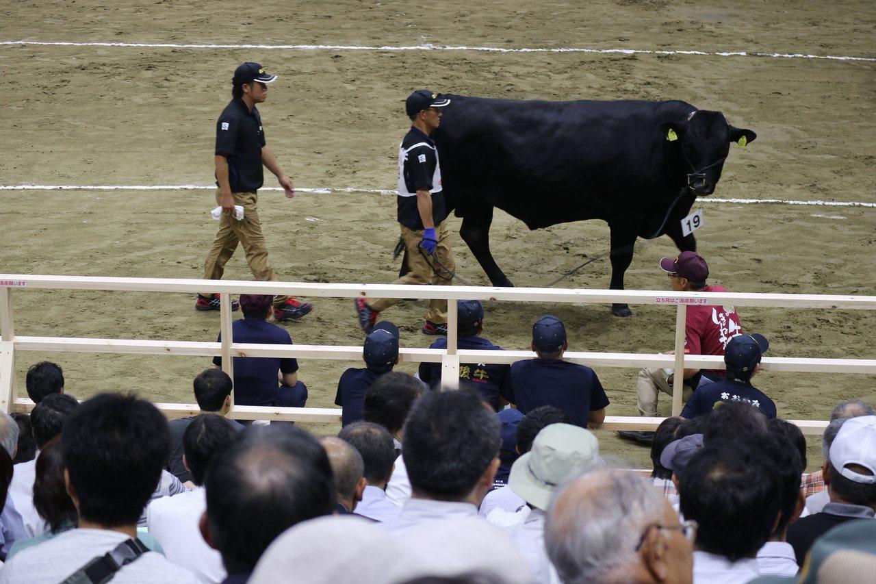 和牛奧林匹克大賽的種牛部門評選。 東京記者蔡佩芳/攝影