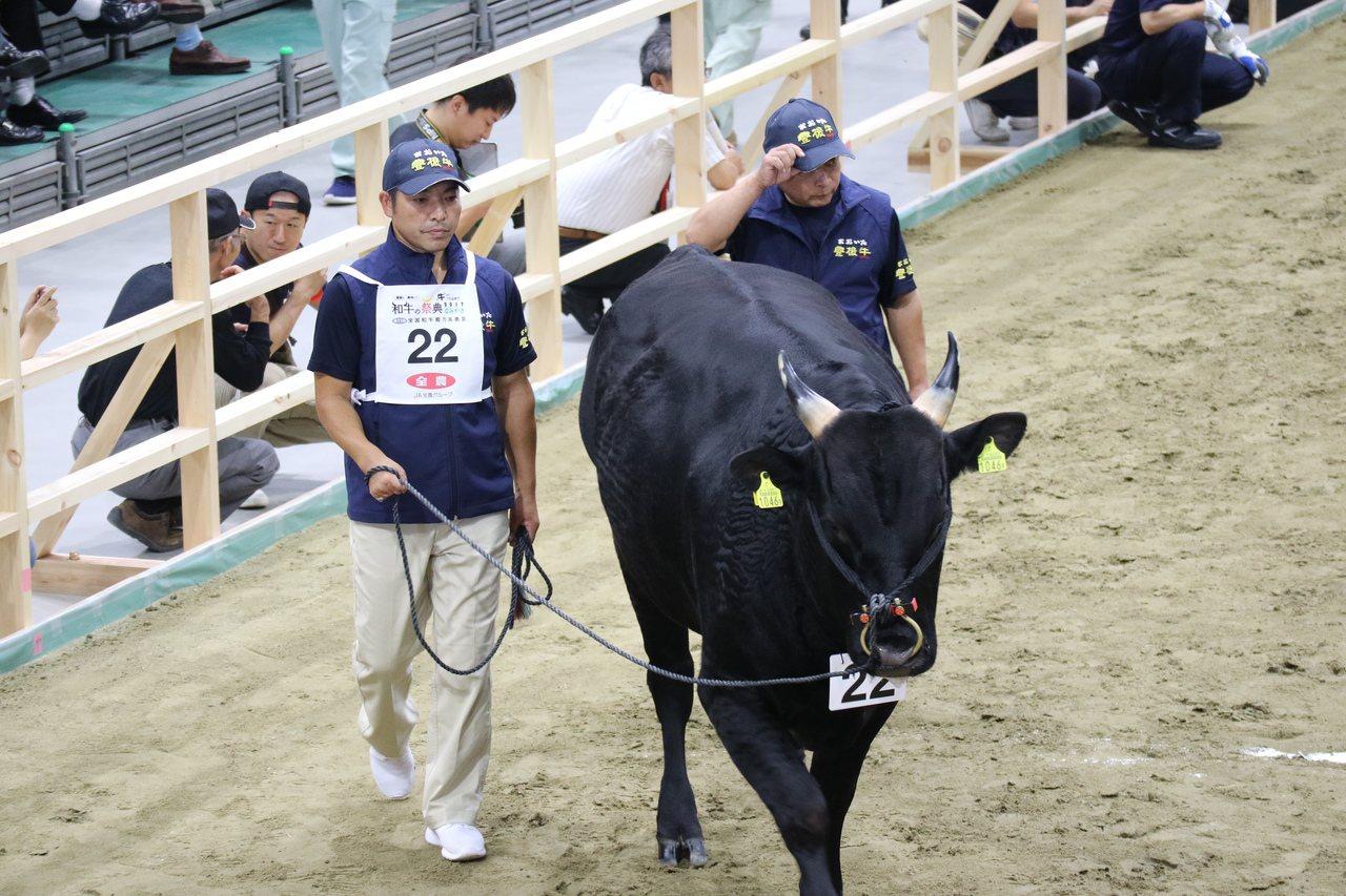 體態是種牛評選重要項目,每頭牛在司儀介紹進場同時也會繞行一周讓人觀賞牠的姿態。照...