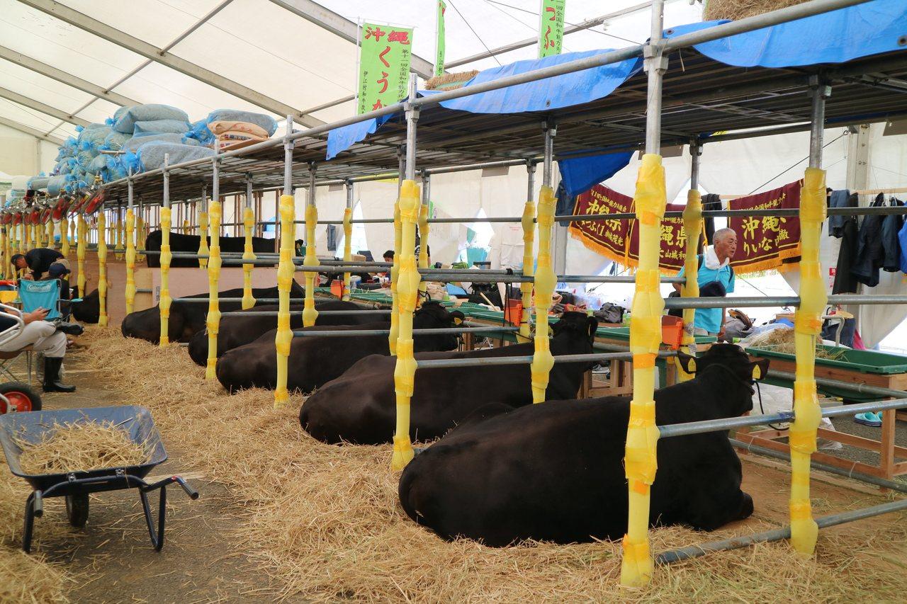 走進牛棚,可以看見一欄欄隔開的和牛,正在休息十分慵懶的模樣。 東京記者蔡佩芳/攝...
