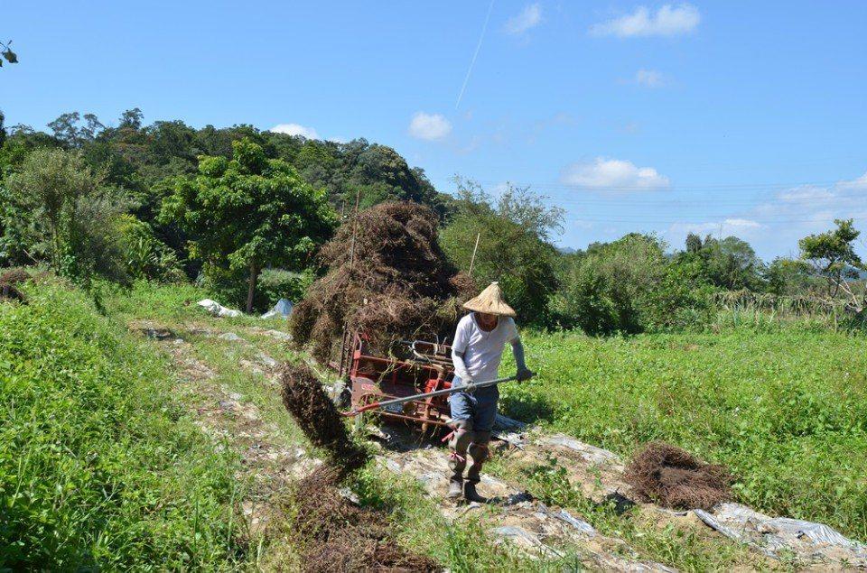 仙草產業仰賴人工。(圖/關西鎮農會)