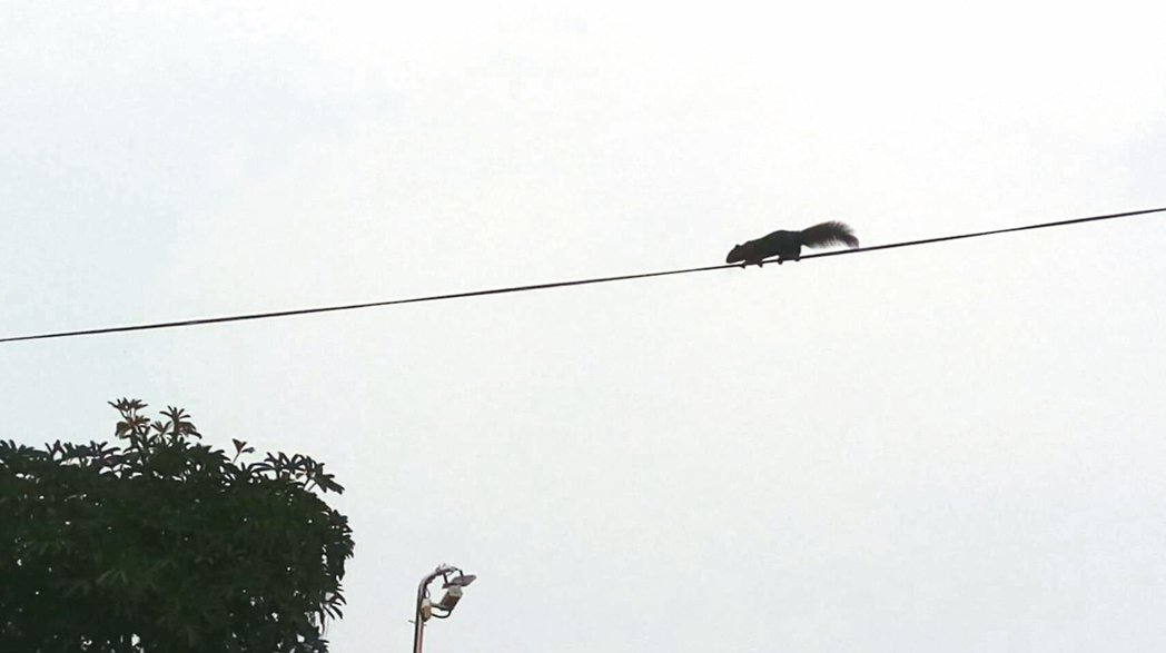 台中市區餵食松鼠的結果,松鼠在電線上走鋼索。 圖/民眾提供