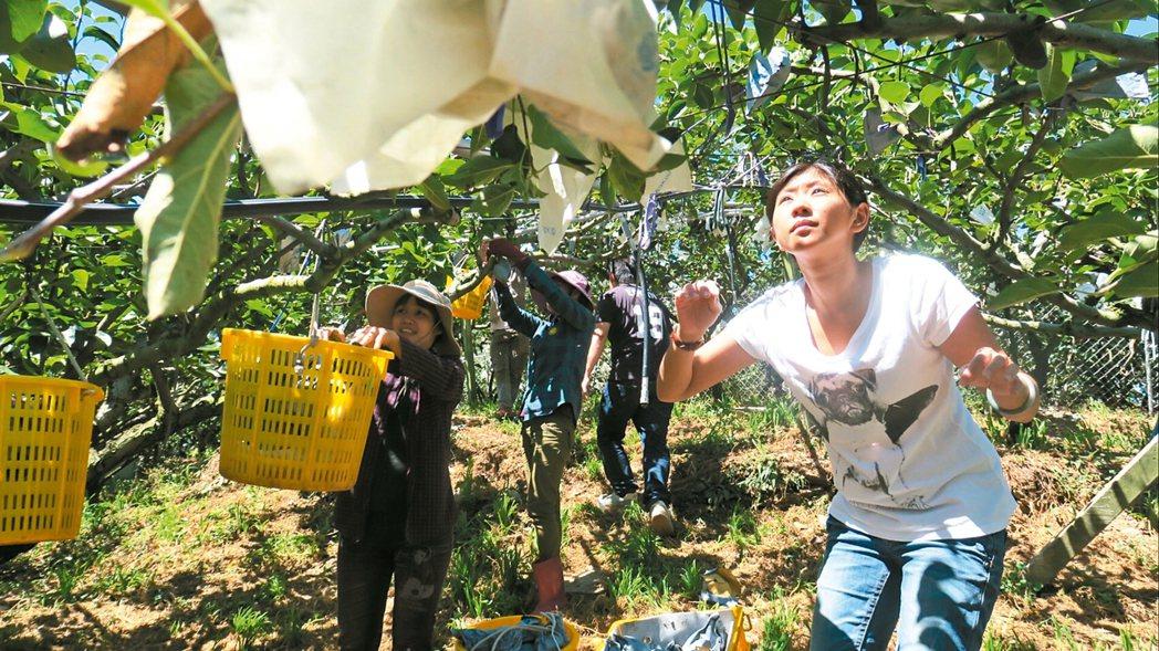 台中市山城果農在颱風前搶收水梨,大大小小全家出動忙翻天。 圖/果農提供