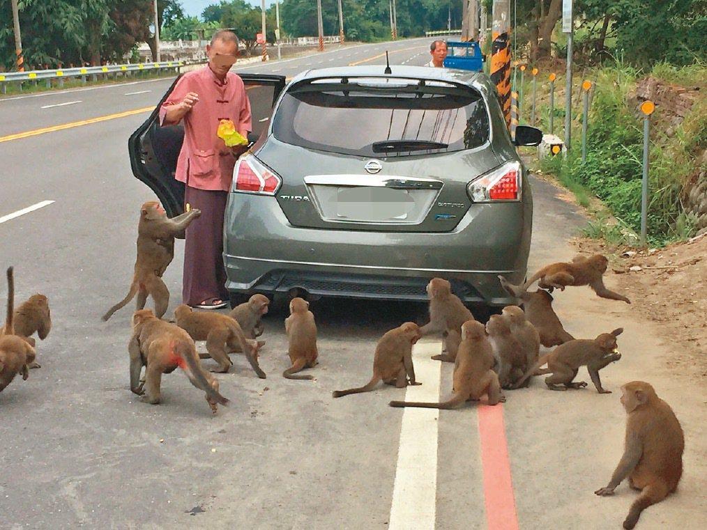 雲林縣林內鄉常有台灣獼猴出現,有人會專程去賞猴及餵食,地點就在省道旁,相當危險。...