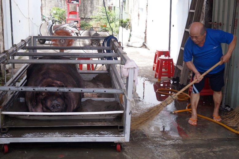 神豬在飼養的過程中必須關照許多細節,圖為參賽者定期幫神豬清掃環境。 圖/作者...