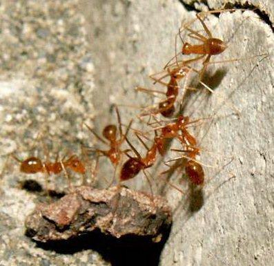 名列「世界百大最嚴重入侵蟻種」前5名的長腳捷山蟻(黃狂蟻)入侵墾丁海岸林,不僅已...