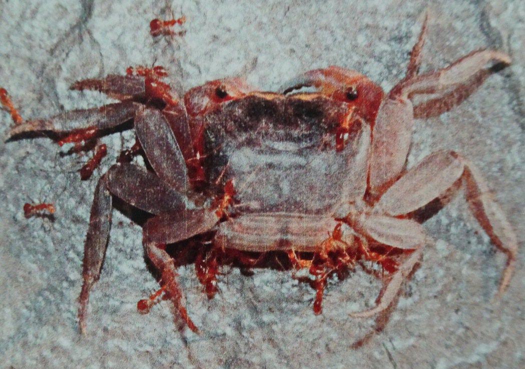 陸蟹體型雖大,但黃狂蟻以數量取勝,噴出的蟻酸造成陸蟹眼盲。記者潘欣中/翻攝