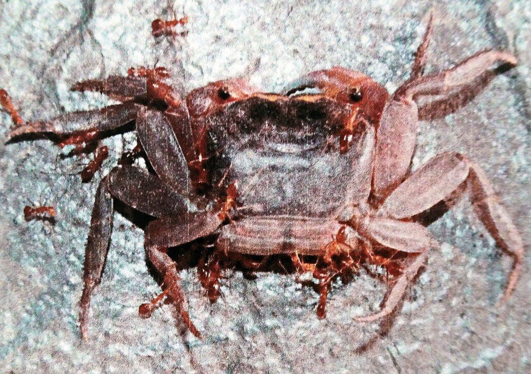 陸蟹體型雖大,但黃狂蟻以數量取勝,噴出的蟻酸會造成陸蟹眼盲,最後因無法覓食而死亡...