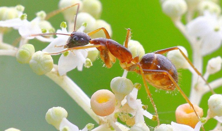 名列「世界百大最嚴重入侵蟻種」前5名的長腳捷山蟻(黃狂蟻)入侵墾丁海岸林,學者認...