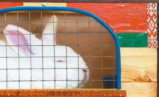 委內瑞拉計畫培育兔子,為食物匱乏的民眾提供較平價的肉類來源。 路透