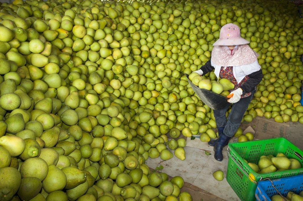 花蓮縣生產文旦柚正值產季。 中央社