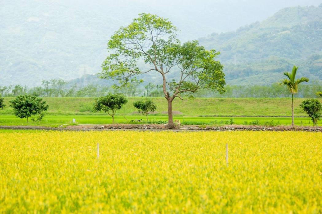 花東縱谷間可以看到成片稻田、油菜花海等景觀。圖/取自花東縱谷國家管理處粉絲頁