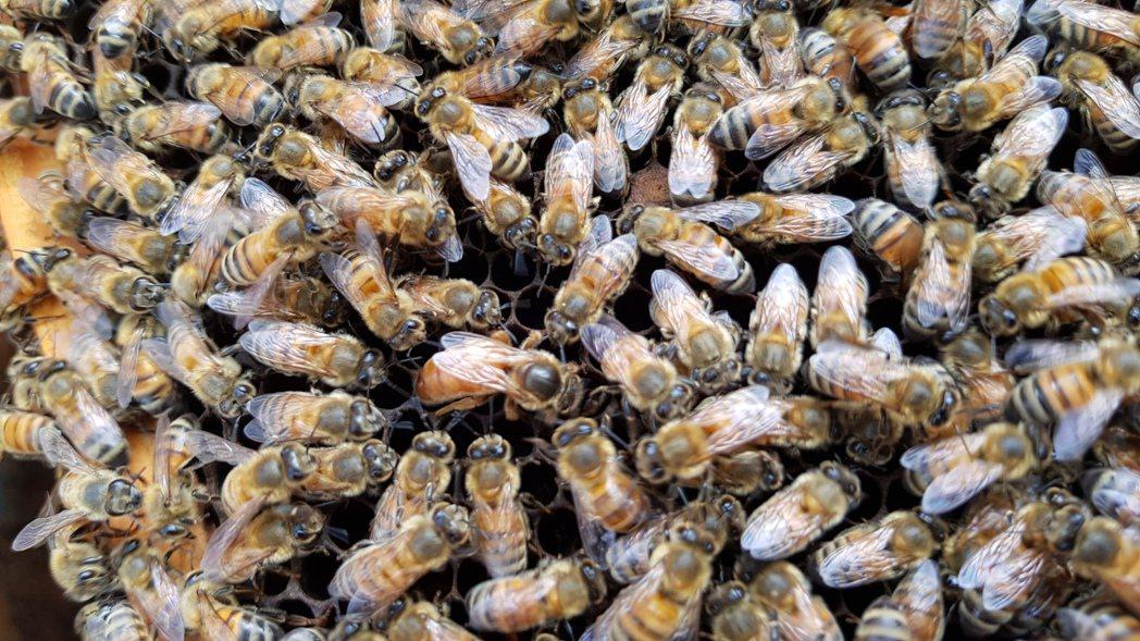巡檢蜂箱,女王蜂的狀況是重點。記者黃瑞典/攝影