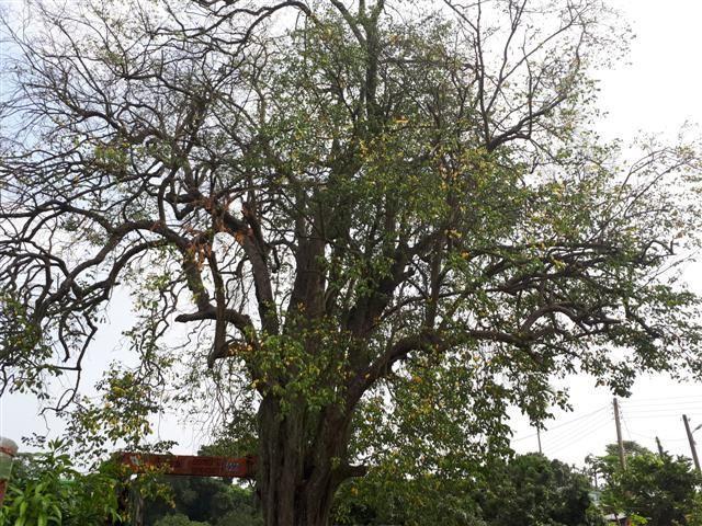 嘉義縣政府列管竹崎鄉200多年老楊桃樹,罹俗稱樹癌的褐根病,專家判定救不活了。 ...