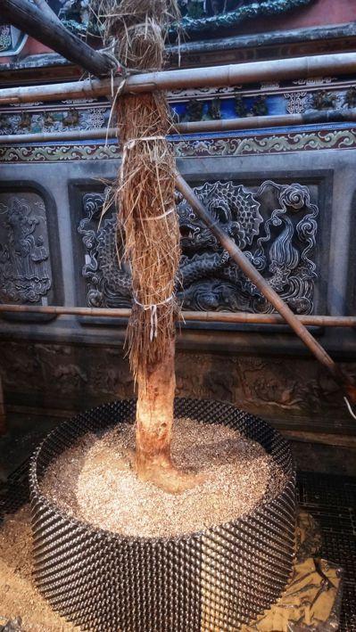 配天宮樹齡97年靈樹「四季蘭」,最近連根挖起現地假植。 圖/配天宮提供