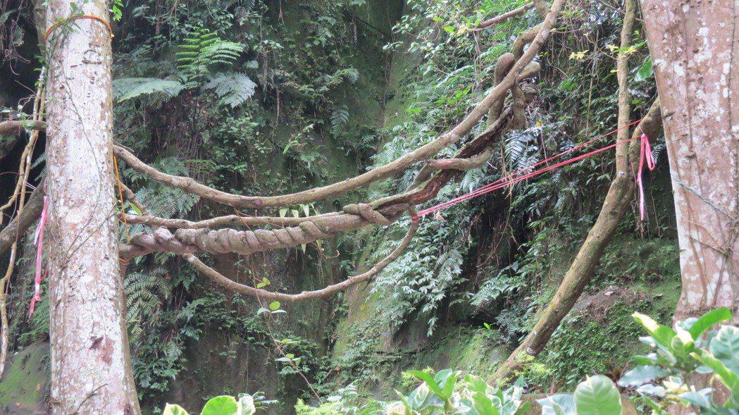 巨藤仍被保留,也是蘇維拉景觀一部分。記者范榮達/攝影