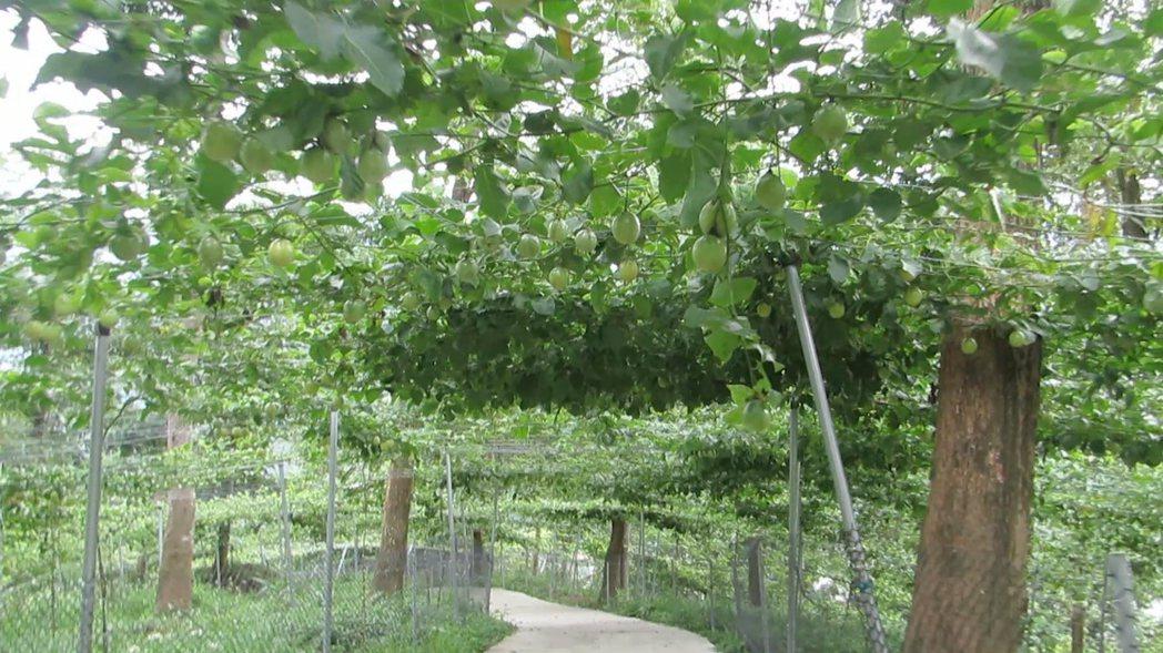 蘇維拉百香果園兼具美觀、遮蔭及食用等用途,出自主人蘇盛泉的巧思。記者范榮達/攝影