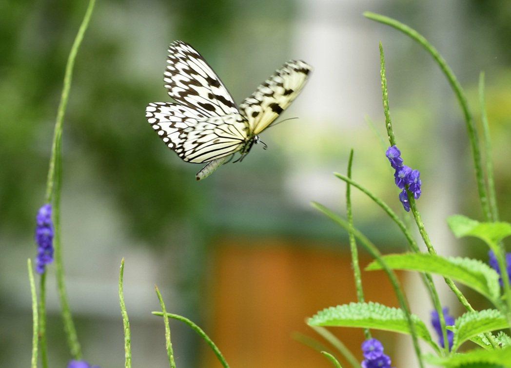 高雄市金獅湖蝴蝶園今天全新亮相,民眾觀看各種美麗蝴蝶翩翩起舞,也能瞭解蝴蝶生態。...
