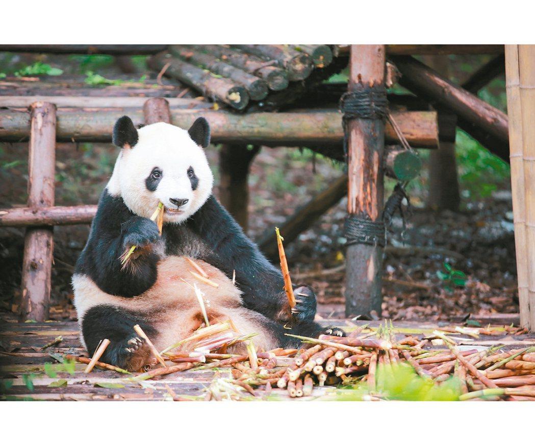 全球各地遊客到成都旅遊,大熊貓是必看的亮點之一。 圖/本報成都傳真