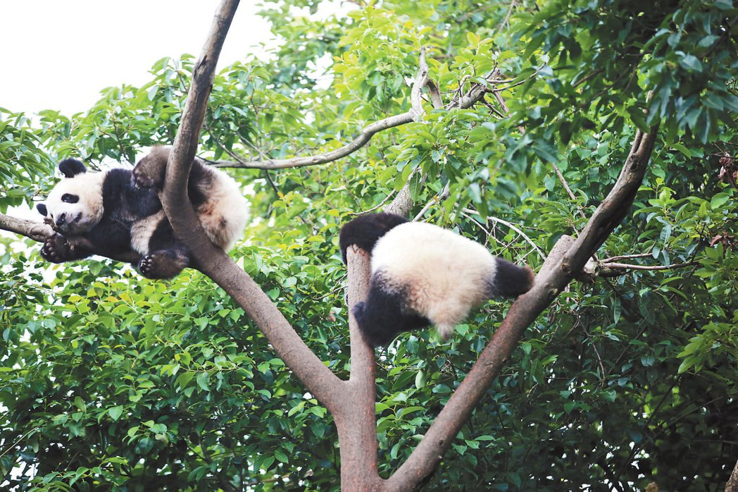 基地內的大熊貓,憨態可掬,擺出各種姿式,可愛指數破表。 圖/本報成都傳真