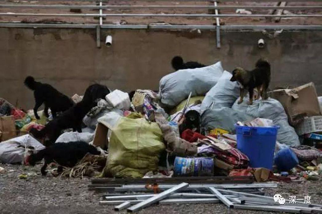 在青海玉樹雜多縣一處寺廟外垃圾堆翻找食物的流浪狗。(取材自北京青年報)