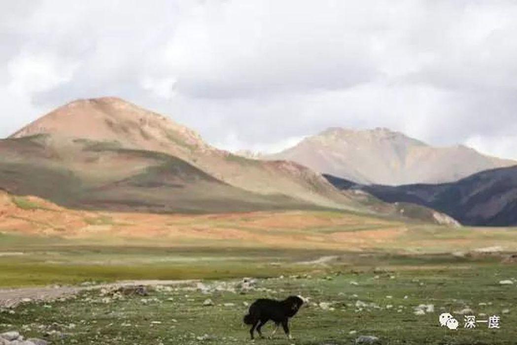 遊盪在玉樹雜多縣山區裡的流浪藏狗。(取材自北京青年報)