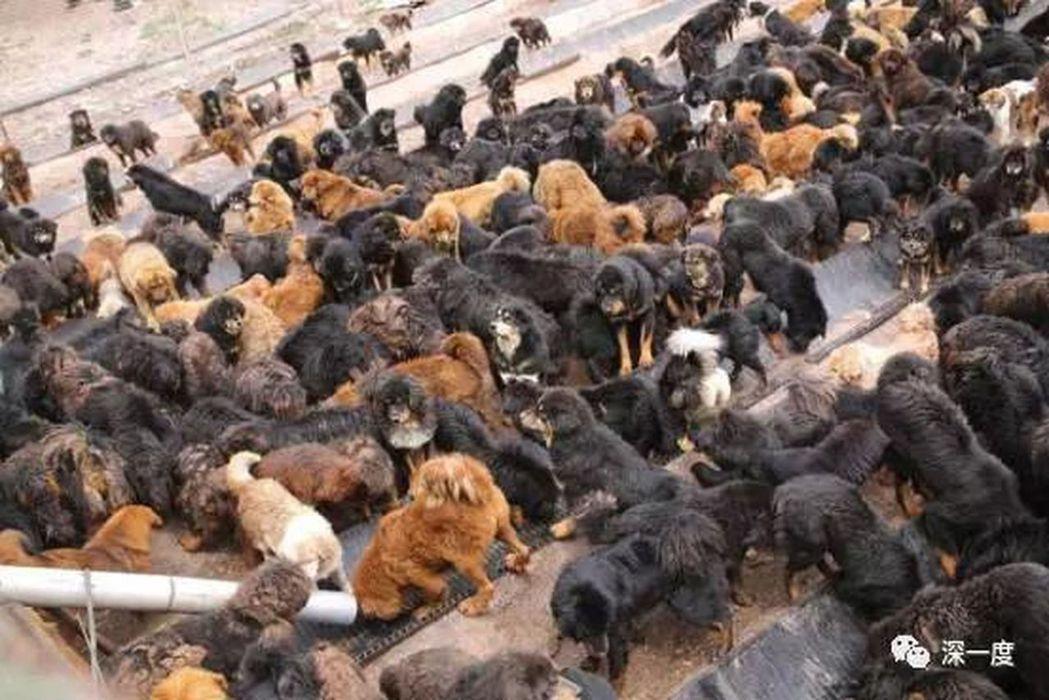 流浪狗收容所內等待餵食的流浪狗。(取材自北京青年報)