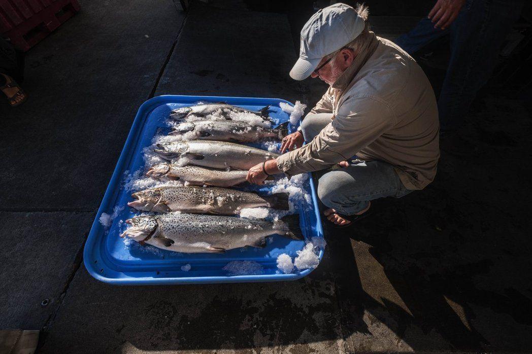 養殖鮭魚深受海蝨問題所擾。美聯社