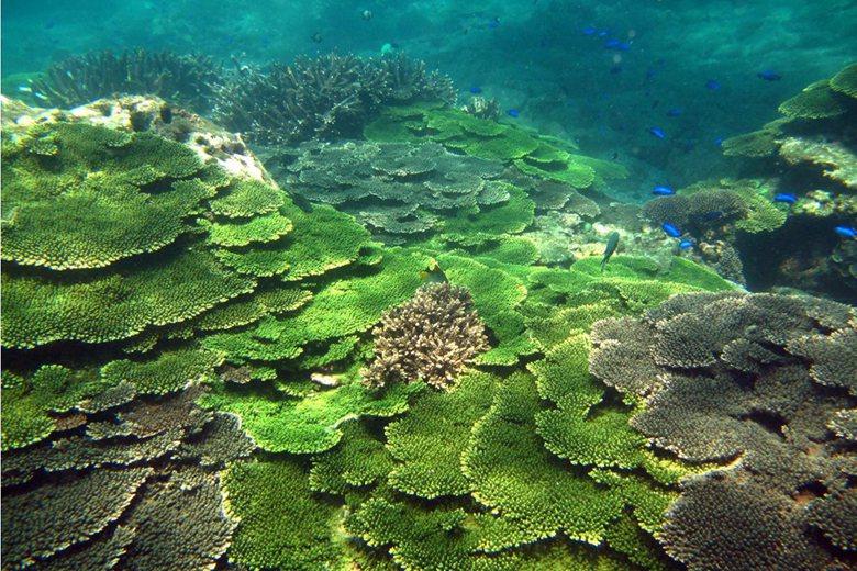 澎湖南方四島海域層層堆疊的桌型軸孔珊瑚。 圖/海洋國家公園管理處提供