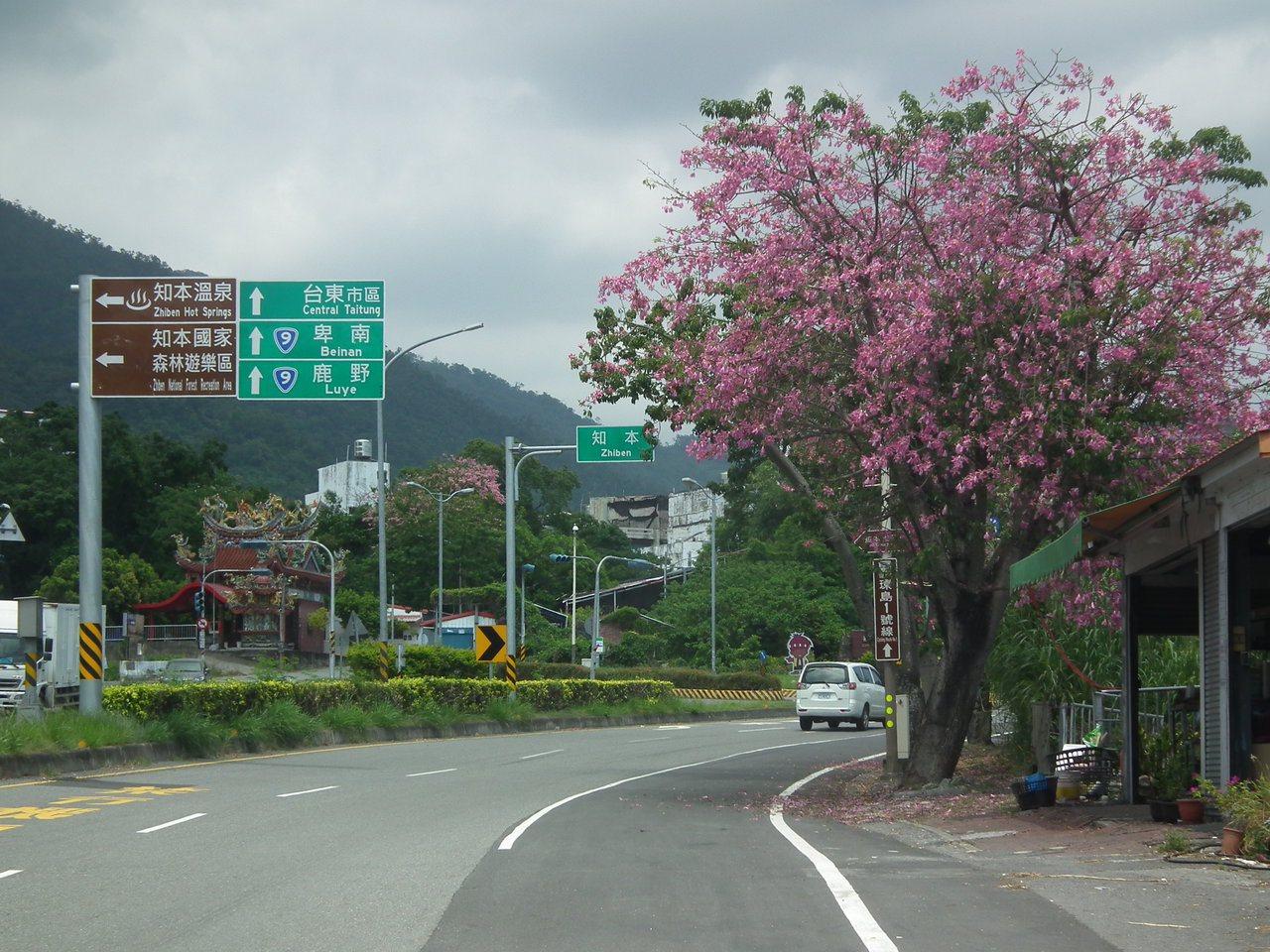 省道台九線知本路段兩側如櫻花般景致的美人花,花瓣隨風飄落,非常詩情畫意。記者尤聰...