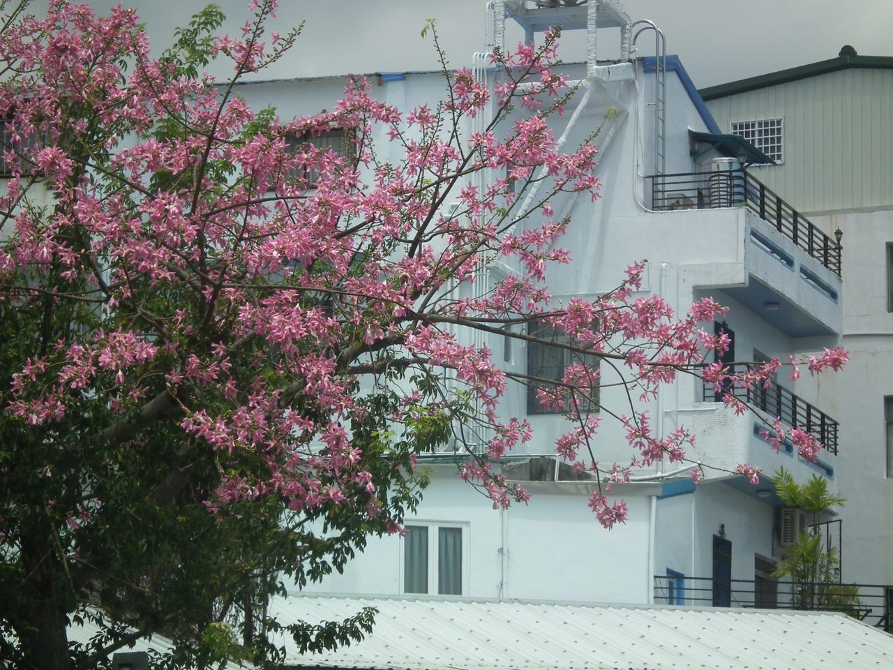 美人花粉紅色的花朵開滿整株樹梢,畫面美到都會醉了。記者尤聰光/攝影